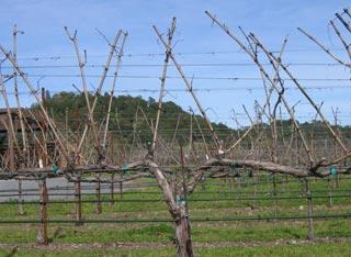 обрезка молодого винограда весной