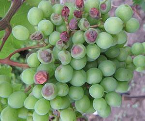 Бактериоз ягод винограда