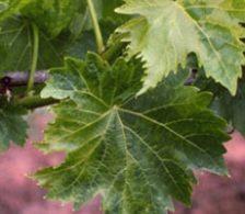 окаймление жилок винограда