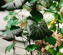 скручивание листвы винограда