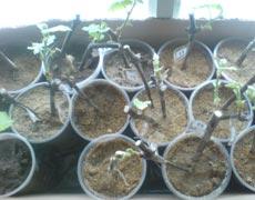 кильчеваторы для винограда