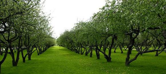 как обрезать яблони