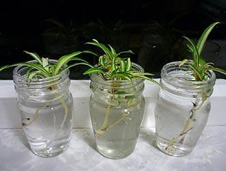 Укрепление корневой системы янтарной кислотой
