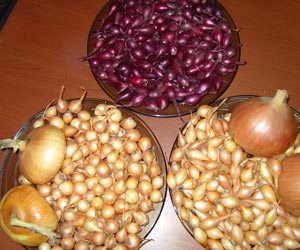 луковицы лука