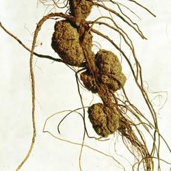 Бактериальный рак корней земляники